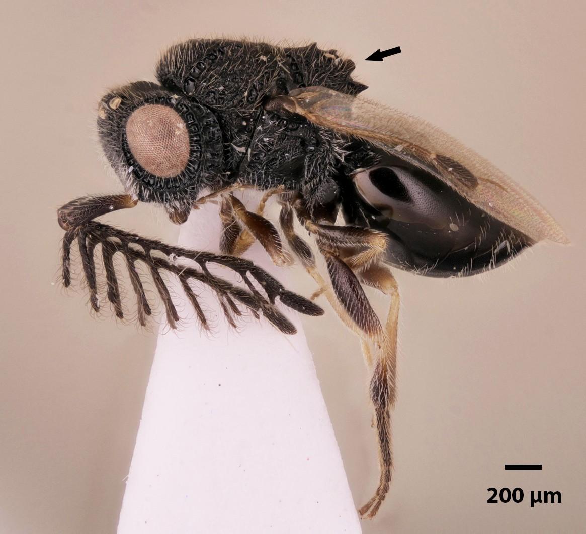 """Vespa Dendrocerus scutellaris carrega uma """"serra"""" em suas costas.  (Foto: Frost Museum)"""