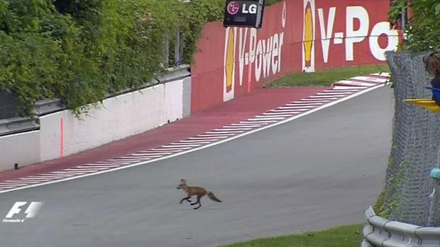 Raposa invade pista durante treino em Montreal (Foto: Reprodução)