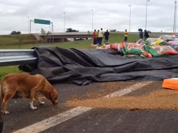 Cadela que passava pelo local aproveitou para se alimentar da ração espalhada no canteiro da rodovia (Foto: Rodrigo Prioli/CBN Ribeirão)