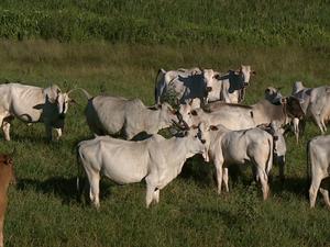 Vacas são alvo de quadrilha em Brodowski, SP (Foto: Chico Escolano/EPTV)