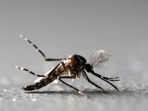"""Um mosquito Aedes aegypti macho geneticamente modificado é visto na fábrica Oxitec em Piracicaba, no interior de São Paulo. Batizado de 'Aedes do bem"""", o mosquito produzido pela empresa possui uma alteração genética que torna sua prole estéril (Foto: Paulo Whitaker/Reuters)"""