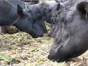 São Luís do Quitunde se dedica a crianção de búfalos (Foto: Reprodução/TV Gazeta)
