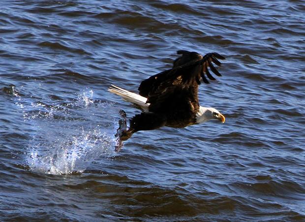 Águias capturaram peixes jogados no rio, e atraíram dezenas de fotógrafos (Foto: The Quad City Times, Kevin E. Schmidt/AP)