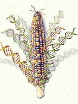 Milho tem graned variedade genética (Foto: Nicolle Rager Fuller, National Science Foundation)