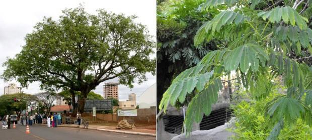 Árvore orelha-de-macaco, cujas sementes possuem proteína com ação contra câncer. (Foto: Divulgação/Prefeitura Municipal de Campo Grande/Wikicommons/Stickpen)