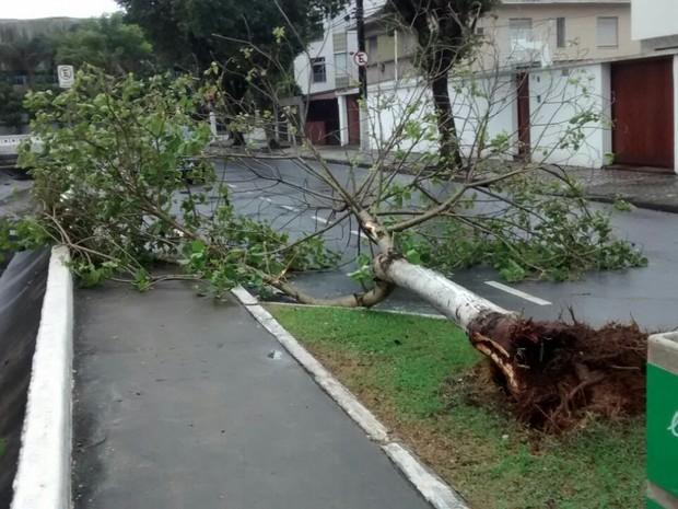 Árvore caiu no Canal 7 e foi colocada por moradores próximo à calçada (Foto: Luiz Santos/Arquivo pessoal)