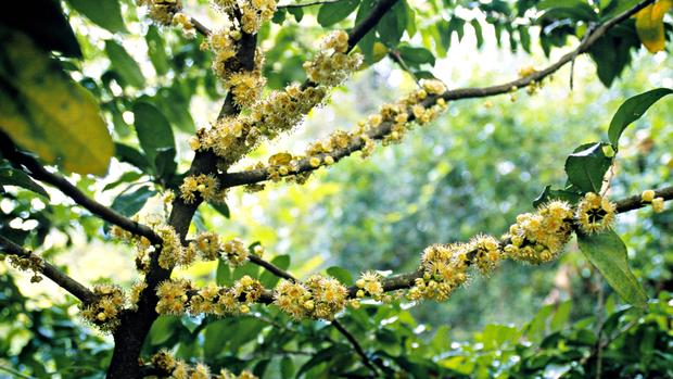 Garcinia cambogia planta euatleta (Foto: Getty Images)