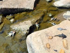 Peixes mortos são encontrados no Rio Piracicaba (Foto: Thomaz Fernandes/G1)