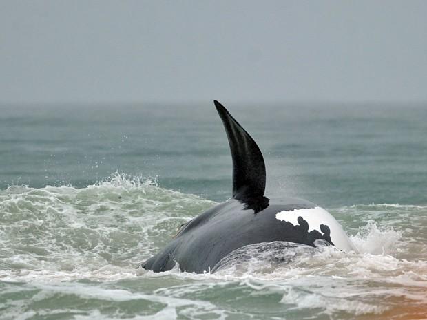 Exemplar de baleia-franco-austral nada após operação que desencalhou o animal da praia Pântano do Sul, em Florianópolis, Santa Catarina (Foto: Guto Kuerten / Agência RBS)
