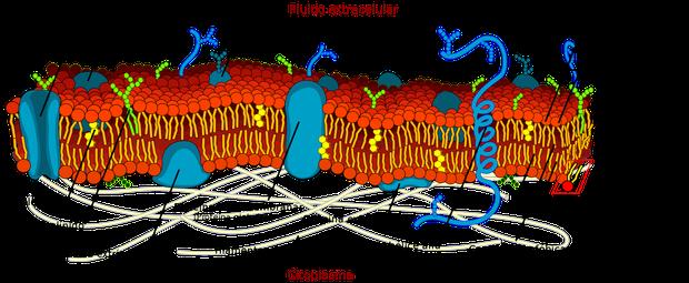 Membrana plasmática (Foto: Wikimedia commons)