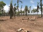 Sem chuvas, produtores de coco sofrem com prejuízos em Alagoas
