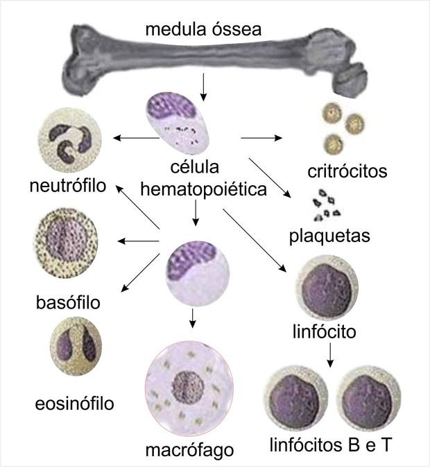 Células sanguíneas (Foto: Ministério da Educação)