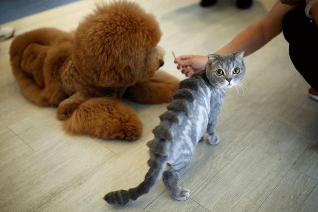 Gato com corte de 'espinha de estegossauro'; quando pelo fica eriçado, ele parece um pequeno dinossauro felino. (Foto: Tyrone Siu/Reuters)