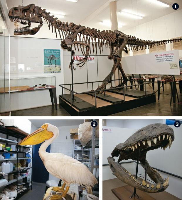 POR DENTRO DO MUSEU 1. O alossauro, um dinossauro americano de 150 milhões de anos 2. Um pelicano empalhado pronto para a exposição 3. O crânio do purussauro, o maior dos jacarés. Tinha 15 metros. Viveu na Amazônia há 7 milhões de anos  (Foto: Guilherme Zauith/ÉPOCA)