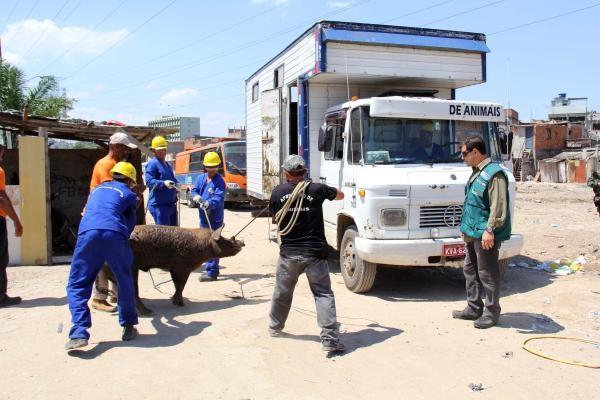 Operação da Cicca apreendeu dezenas de porcos nesta quinta-feira (18), em Manguinhos, no Rio (Foto: Luiz Morier/Secretaria do Ambiente do RJ)