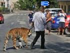 Tcheco surpreende moradores ao passear com tigre na coleira