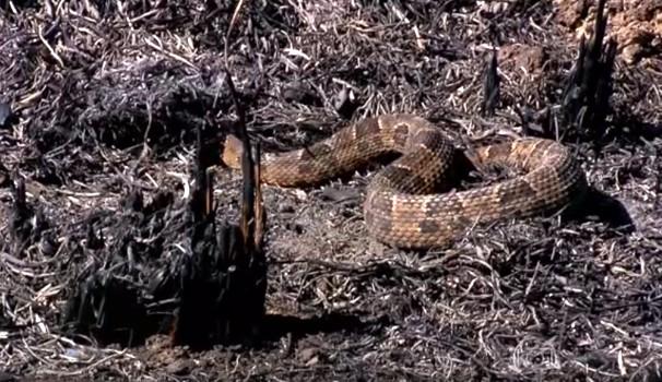 Equipe da EPTV flagrou animais buscando abrigo na vegetação destruída (Foto: Reprodução / Rede Globo)