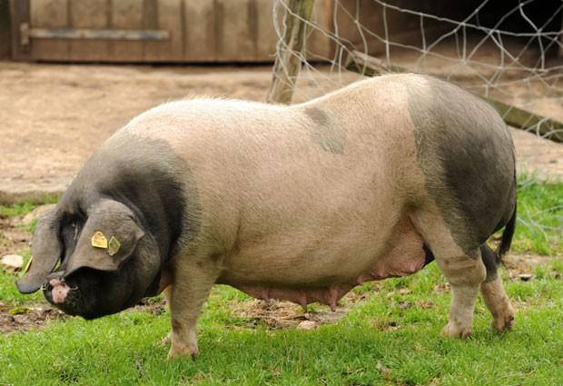 Uso de antibióticos para acelerar crescimento de animais é controverso  (Foto: Iroz Gaizka/AFP)