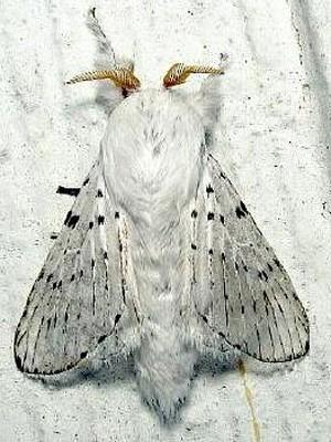 Mariposa da espécie 'artace cribarius', fotografada nos EUA (Foto: Mississippi Entomological Museum/Divulgação)