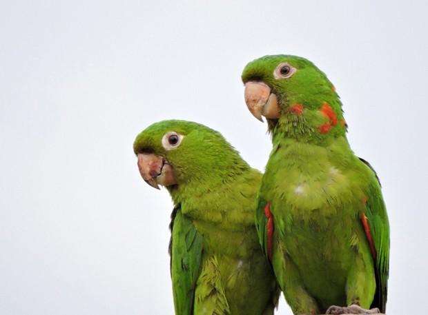 Nesta foto dá para ver os detalhes vermelhos da plumagem (Foto: Whillyan Souza Barros / Você no TG)