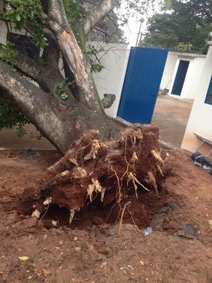 Árvore tombou em pátio de escola (Foto: Graziela Rezende/G1 MS)