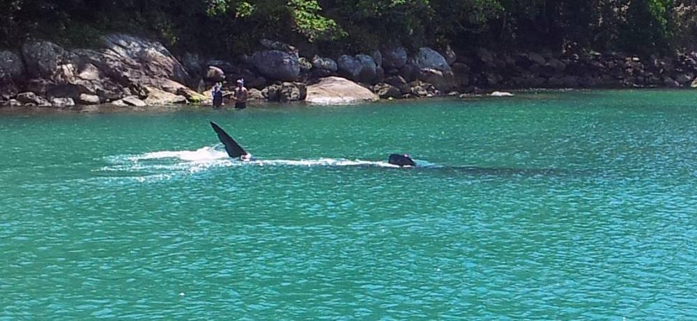 Tubarão-baleia nadava próximo a costa (Foto: Hugo Fernando Fagotti Pereira/Patadacobra)