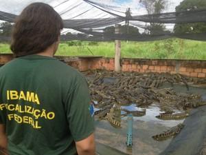 Criadouro não tinha licença para criar Jacaré-anão, que foi apreendido e solto pelo Ibama. (Foto: Divulgação/Assessoria Ibama)