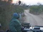Leopardo dá salto incrível para capturar galinha-d'angola, mas falha