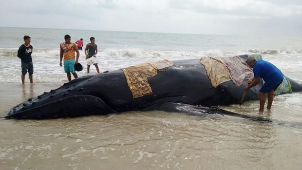 Baleia encalhou na praia de Tourinhos, em São Miguel do Gostoso (Foto: Antônio Carlos Barbosa)