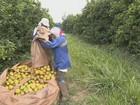 Calor diminui produtividade e afeta safra de laranja, aponta Fundecitrus