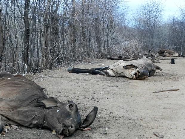 Sem ração e sem água, os animais acabam vagando até morrerem (Foto: Taiguara Rangel/G1)