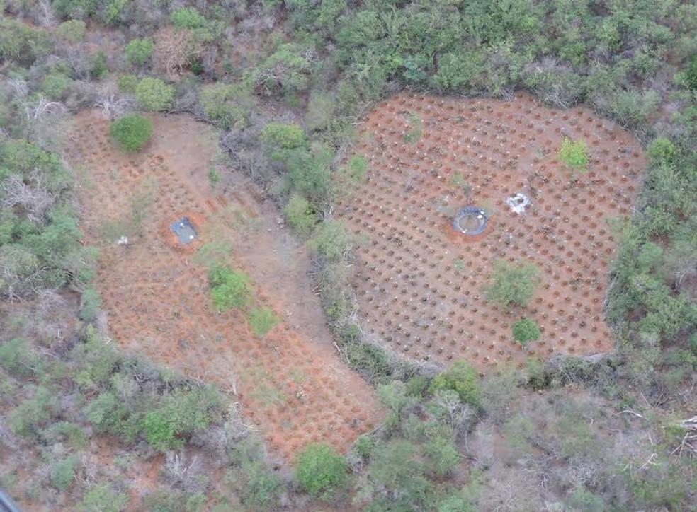 Plantações foram encontradas nas cidades de Orocó, Cabrobó e Belém do São Francisco (Foto: Divulgação / Polícia Federal)