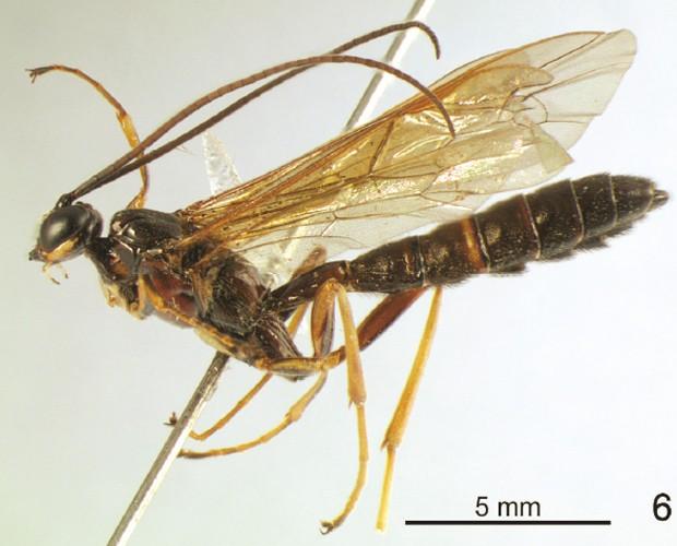 """Macho da espécie 'Dolichomitus moacyri', que não possui a 'cauda' modificada (Foto: Reprodução/""""ZooKeys""""/UFSCar)"""