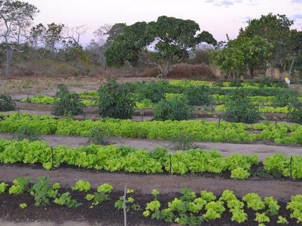 Terreno foi devidamente preparado e produção está a todo vapor (Foto: Cristovão Braga/Arquivo Pessoal)