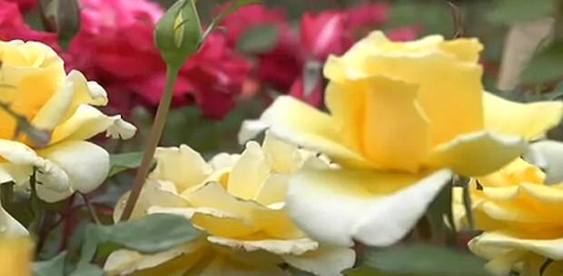 Tudo sobre rosas