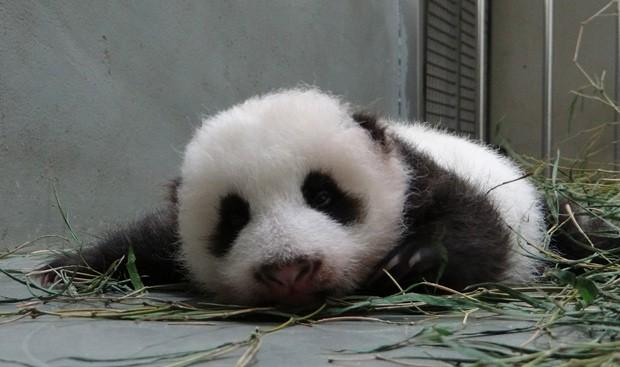 Primeiro panda natural de Taiwan nasceu em 6 de julho. (Foto: AFP Photo/Taipei City Zoo)