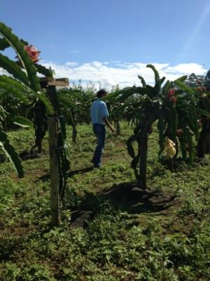 Cultivo da fruta dispensa uso de agrotóxicos (Foto: Janine Limas/RBS TV)