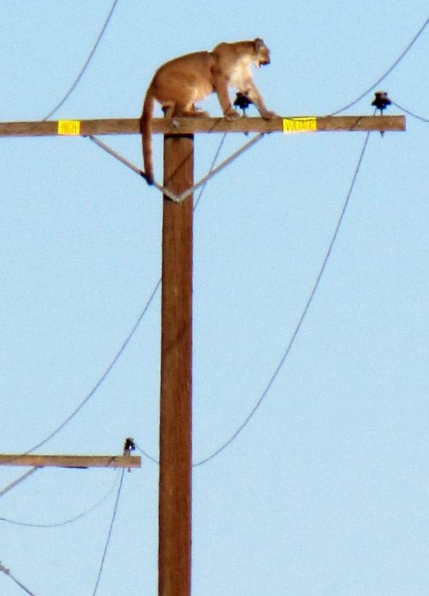 Puma foi visto no topo do poste durante toda a tarde de terça-feira  (Foto: Peter Day/The Victor Valley Daily Press/AP)
