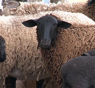 Rendimento na criação de ovelhas (Foto: Reprodução/TV Fronteira)