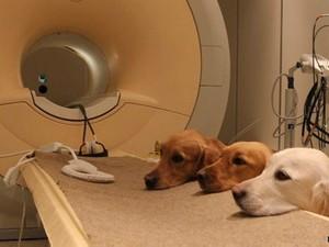 Próximo passo do estudo é checar como o cérebro de cães reage quando eles ouvem palavras (Foto: Eniko Kubinyi/BBC)