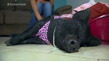 Conheça a paranaense que tem uma porca como animal de estimação