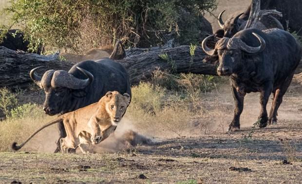 Leão jovem fugiu desesperado ao ser perseguido por manada de búfalos (Foto: Tim Driman/Caters/Grosby Group)