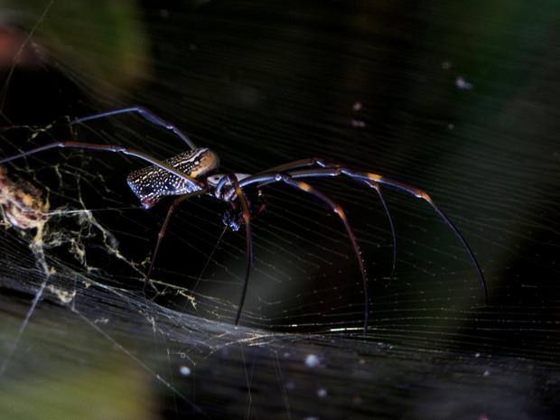 Aranha-de-teia-amarela flagrada saindo para capturar presa (Foto: Flávio Vilas Boas/VC no TG)