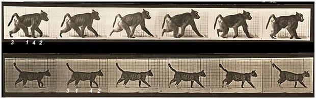 Imagens mostram uma comparação do caminhar de um primata (o babuíno, no alto) - em sequência diagonal - e o caminhar de um mamífero não primata (o gato, embaixo) - em sequência lateral  (Foto: Muybridge E (1887)/Divulgação  )