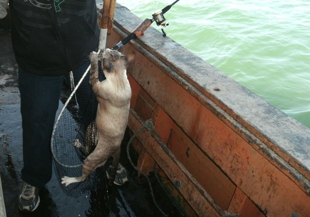 A fisherman caught a cat on the high seas off Santos, So Paulo (photo: Adryanno Tussing)