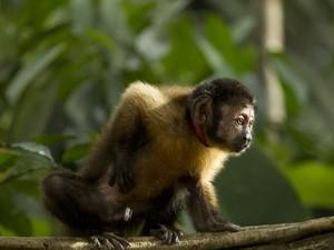 Castanha, o macaco-prego protagonista de 'Amazônia' (Foto: Divulgação)