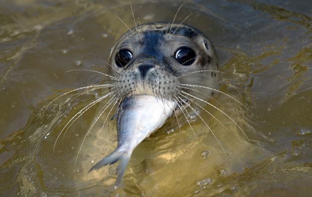 Uma foca foi fotografada no exato momento em que devorava um peixe em um centro de focas em Friedrichskoog, na Alemanha, no domingo (10) (Foto: Daniel Reinhardt/DPA/AP)