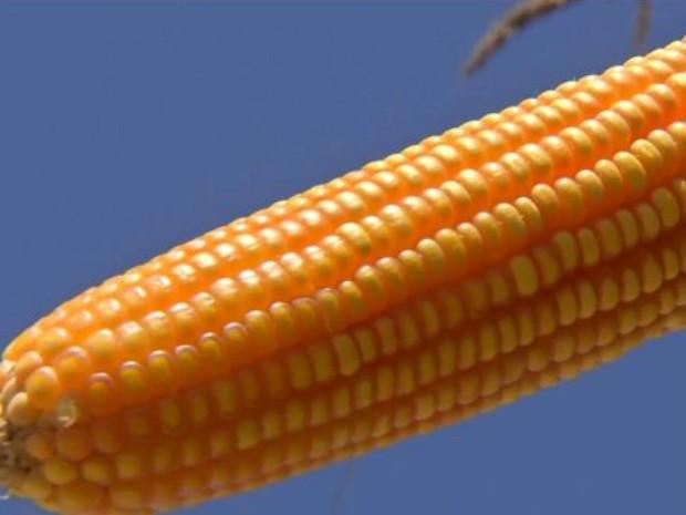 Aprosoja/MS voltou a rever para baixo a estimativa de colheita de milho safrinha em MS (Foto: Reprodução/TV Morena)