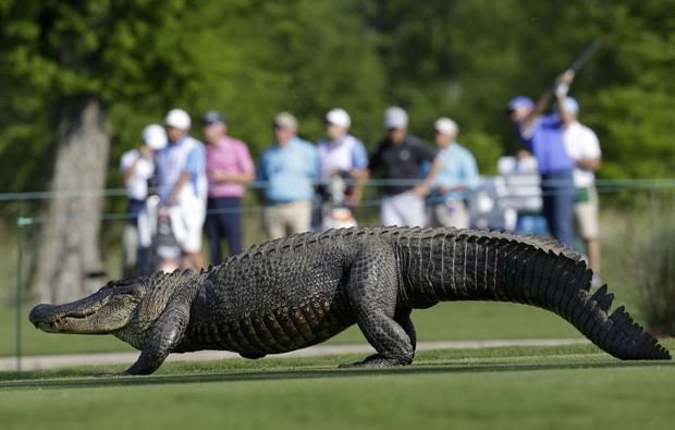 Jacaré interrompe torneio de golfe nos EUA (Foto: Gerald Herbert/AP)