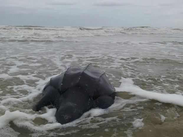 Tartarura encalhou na area da praia em Ilha Comprida (Foto: Cristian Negrão/Arquivo Pessoal)